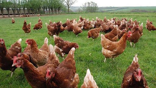 granja inversión gallinas huevos