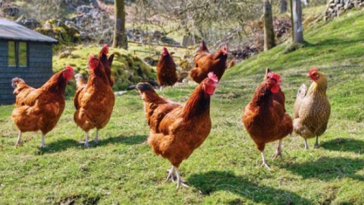 granja inversión gallinas huevos venta