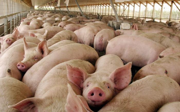 granja inversión cerdos