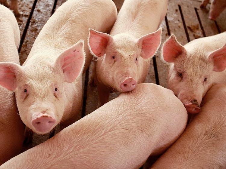 granja inversión porcino