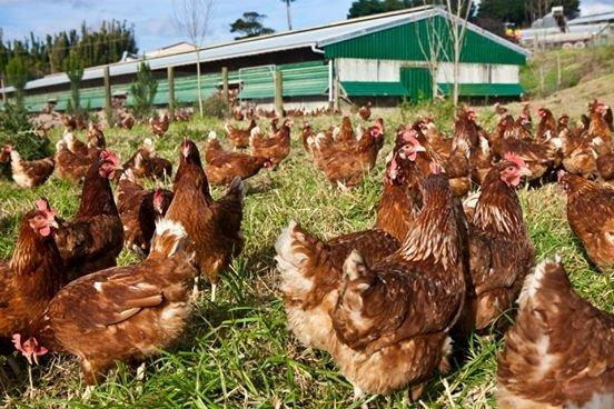 granja inversión gallinas